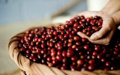 Honduras abre sus fronteras este viernes para el ingreso de cortadores de café de El Salvador y Nicaragua