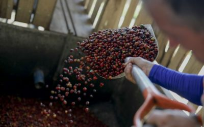 Café salvadoreño se posiciona en mercado internacional y apunta a China como gran socio comercial