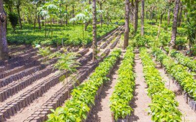 Promueven diversificación productiva en cafetales de Nicaragua