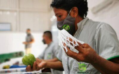 Costa Rica: Productores de guayaba taiwanesa en Paquera  dan sus primeros pasos para exportar la fruta