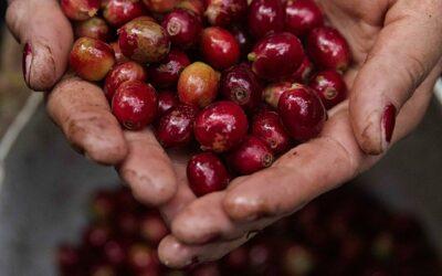 Ingresos por exportaciones de café hondureño suben un 1,4 % en 7 meses de cosecha